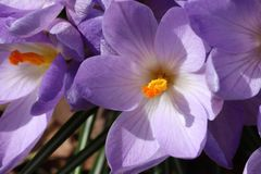 Purple crocus bloom with pollen. In northern New Jersey garden April 2019 royalty free stock images