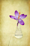 Purple crocus Royalty Free Stock Photos
