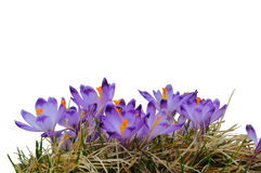 Purple crocus blooming in yellow grass isolated on white background Royalty Free Stock Photo