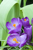 Purple Crocus Blooms in Garden Royalty Free Stock Photos