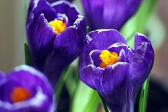 Purple crocus blossom. Beautiful close up of a purple crocus blossom Stock Photography