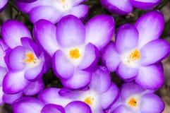 Purple Crocus Blossoms Royalty Free Stock Photos