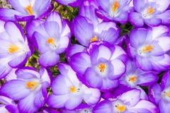 Purple Crocus Blossoms Stock Photo