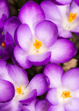 Purple Crocus Blossoms Royalty Free Stock Photo