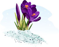 Purple crocus on a blue background-EPS10 Royalty Free Stock Photos
