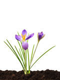 Purple crocus on brown fresh soil isolated on white Stock Photography