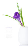 Purple crocus bud in a white vase Stock Photography