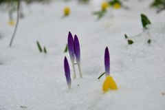 Purple crocus buds and yellow winter aconite buried in snow royalty free stock photos