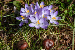 Purple crocus with chestnuts on the meadow. Showing, that winter is over and spring is coming Royalty Free Stock Images