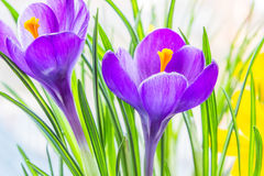 Purple crocus close up. Backlit Stock Photography