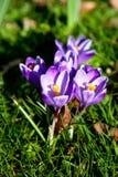 Purple crocus close-up. Stock Photo