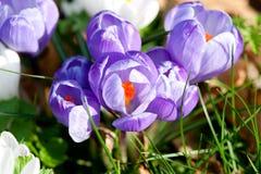 Purple crocus close-up. Royalty Free Stock Photo