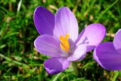 Purple crocus closeup Stock Images
