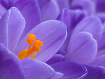 Purple crocus detail Stock Image
