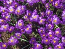 Purple crocus Royalty Free Stock Photos