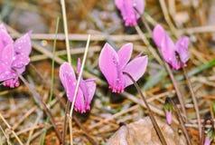 Purple Crocus Royalty Free Stock Photography