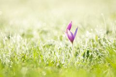Purple crocus and early morning grass Stock Photo