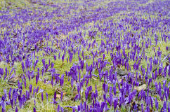 Purple crocus field Royalty Free Stock Photos