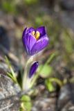 Purple Crocus Flower. Close-up of Blooming Crocus Flower in Spring Stock Image