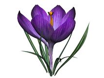 Purple crocus flower. Details of blooming purple crocus flower, isolated on white background Stock Photo