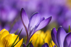 Purple crocus flower Stock Photos