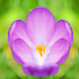 Crocus flower Stock Image