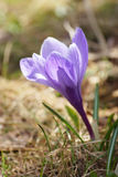 Purple crocus flower. On a background of dry grass Stock Photos