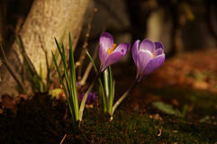 Purple Crocus Royalty Free Stock Photography