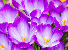Purple crocus flower blossoms background Royalty Free Stock Photography