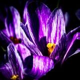 Purple crocus flower Royalty Free Stock Images