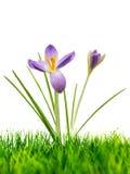 Purple crocus on fresh green grass on white stock image