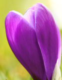 Purple crocus flower Stock Image