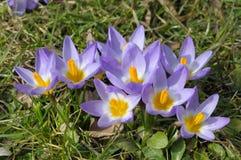 Free Purple Crocus Flowers Stock Image - 13536231