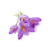 Purple crocus flowers Stock Photography