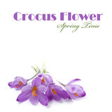 Purple crocus flowers Royalty Free Stock Photos