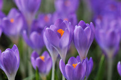 Purple crocus flowers Stock Image