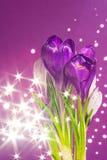 Purple crocus flowers Stock Images