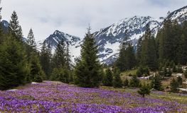 Purple crocus flowers and beautiful spring landscape in Fagaras mountains, Carpathians, Transylvania royalty free stock images