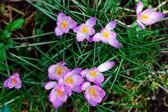 Purple crocus flowers bloom in spring. Among green grass royalty free stock photo