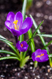 Purple crocus flowers blossom in spring Stock Images