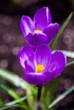 Purple crocus flowers blossom in spring Stock Photos