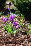 Purple Crocus flowers on brown mulch. During the spring time stock photography