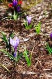 Purple Crocus flowers on brown mulch Stock Photo