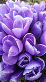 Purple crocus flowers. A bunch of spring purple flowers Royalty Free Stock Image