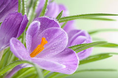 Purple crocus flowers Royalty Free Stock Photography