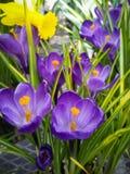 Purple crocus. Flowers on display in the greenhouses at Elizabeth park in Hartford, CT Royalty Free Stock Image