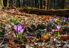 Purple crocus flowers in forest. Purple crocus flowers on meadow among foliage and green grass. sunny day in forest. beautiful springtime nature. low viewpoint Royalty Free Stock Images