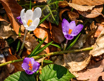 Purple crocus flowers in forest. Purple crocus flowers on meadow among foliage and green grass. sunny day in forest. beautiful springtime nature. top viewpoint Stock Images