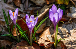 Purple crocus flowers in forest. Purple crocus flowers on meadow among foliage and green grass. sunny day in forest. beautiful springtime nature. top viewpoint stock photography