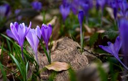 Purple crocus flowers in forest. Purple crocus flowers on meadow among foliage and green grass. sunny day in forest. beautiful springtime nature. top viewpoint royalty free stock images